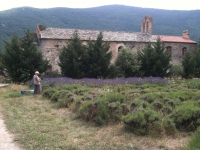 2016 - July 21. Gathering lavender at Corbiac
