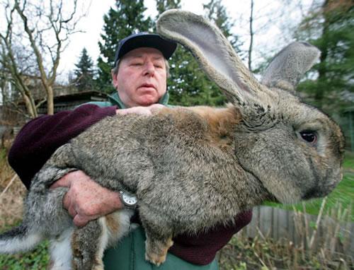 1-giant-rabbit